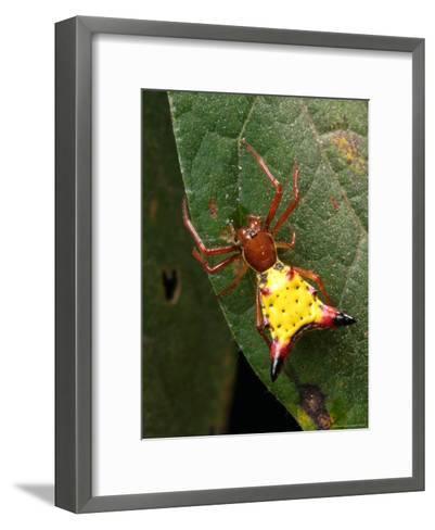 Portrait of a Micrathena Sagittata Spider on a Leaf-George Grall-Framed Art Print