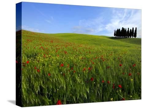 Poppies in a Wheatfield-Raul Touzon-Stretched Canvas Print