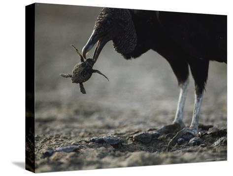 A Vulture Eating a Newly Hatched Sea Turtle Emerging from Its Nest-Bill Curtsinger-Stretched Canvas Print
