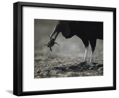 A Vulture Eating a Newly Hatched Sea Turtle Emerging from Its Nest-Bill Curtsinger-Framed Art Print