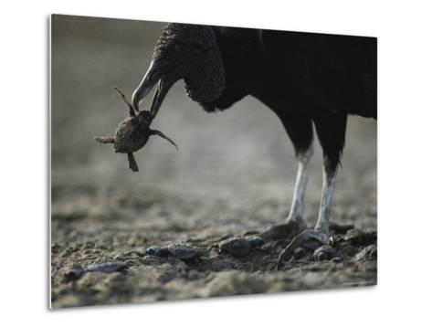 A Vulture Eating a Newly Hatched Sea Turtle Emerging from Its Nest-Bill Curtsinger-Metal Print
