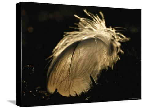 A Close View of a Backlit Feather-Norbert Rosing-Stretched Canvas Print