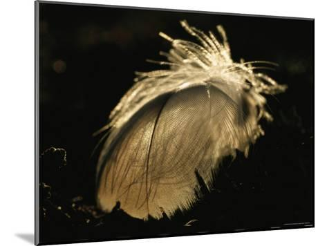 A Close View of a Backlit Feather-Norbert Rosing-Mounted Photographic Print