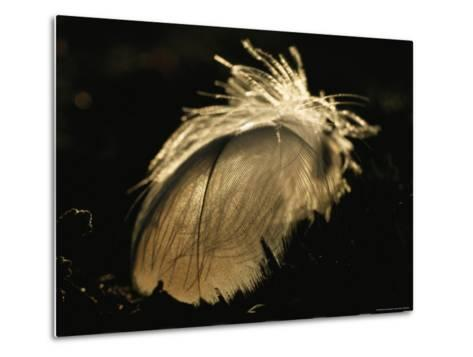 A Close View of a Backlit Feather-Norbert Rosing-Metal Print