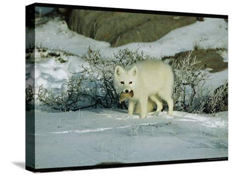 An Arctic Fox with a Fresh Kill in Its Mouth-Norbert Rosing-Stretched Canvas Print