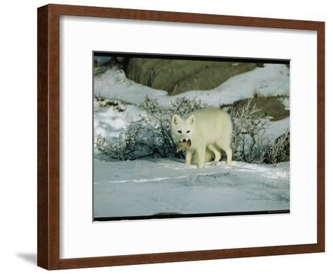 An Arctic Fox with a Fresh Kill in Its Mouth-Norbert Rosing-Framed Art Print