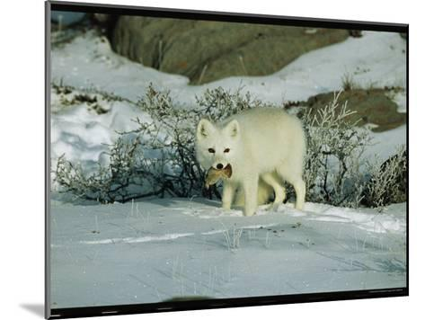 An Arctic Fox with a Fresh Kill in Its Mouth-Norbert Rosing-Mounted Photographic Print