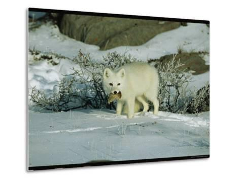 An Arctic Fox with a Fresh Kill in Its Mouth-Norbert Rosing-Metal Print