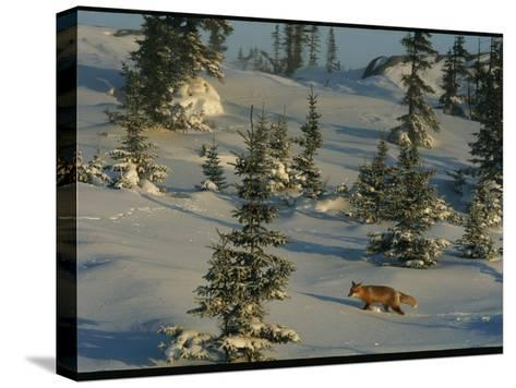 A Red Fox Walking Among Evergreen Trees in a Snowy Landscape-Norbert Rosing-Stretched Canvas Print