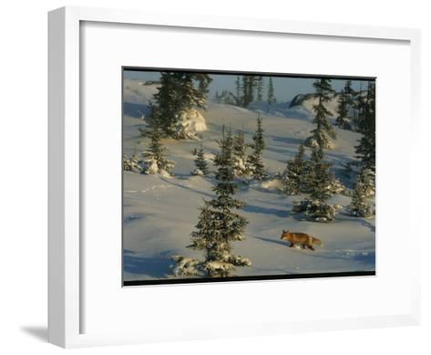 A Red Fox Walking Among Evergreen Trees in a Snowy Landscape-Norbert Rosing-Framed Art Print