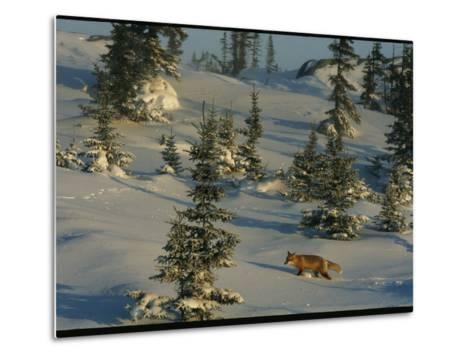 A Red Fox Walking Among Evergreen Trees in a Snowy Landscape-Norbert Rosing-Metal Print
