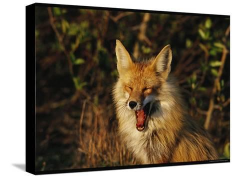 A Red Fox Yawning in Golden Sunlight-Norbert Rosing-Stretched Canvas Print