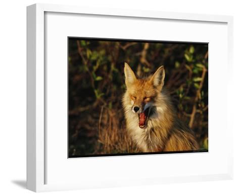A Red Fox Yawning in Golden Sunlight-Norbert Rosing-Framed Art Print