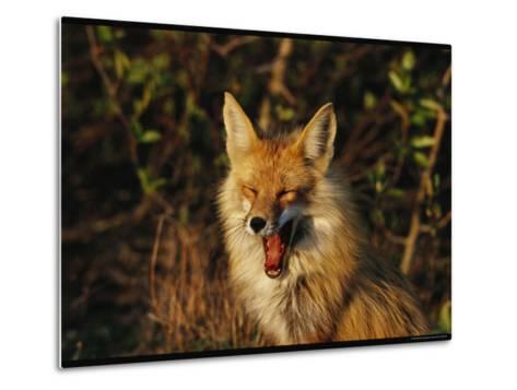 A Red Fox Yawning in Golden Sunlight-Norbert Rosing-Metal Print