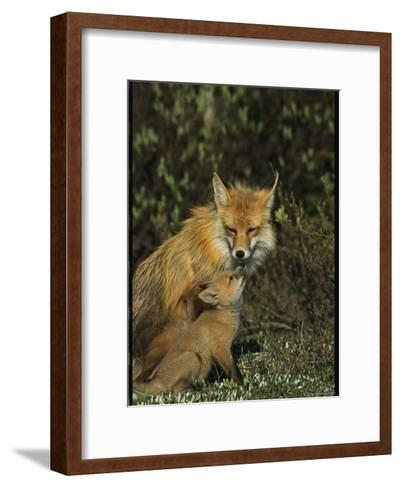 A Red Fox Mother and Her Pup-Norbert Rosing-Framed Art Print