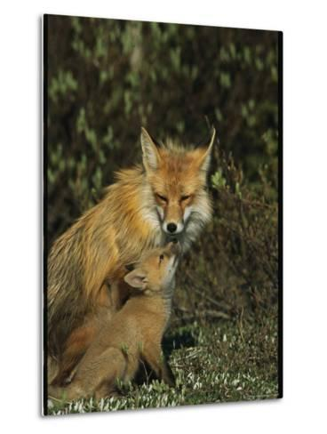 A Red Fox Mother and Her Pup-Norbert Rosing-Metal Print