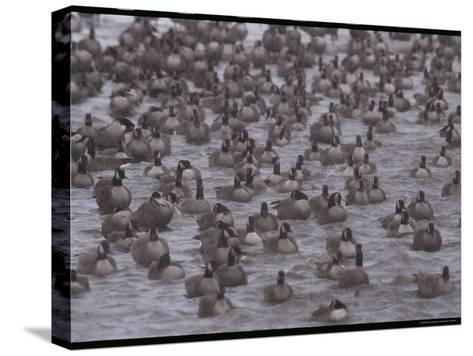A Flock of Canada Geese Resting Together in Water-Norbert Rosing-Stretched Canvas Print