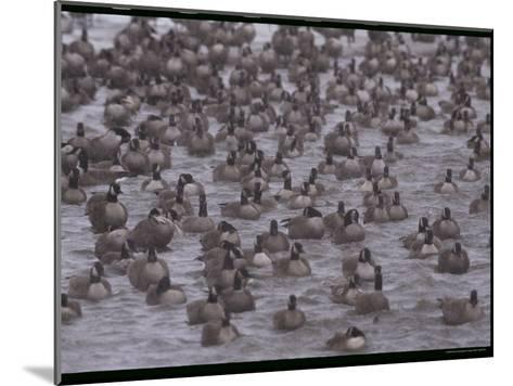 A Flock of Canada Geese Resting Together in Water-Norbert Rosing-Mounted Photographic Print