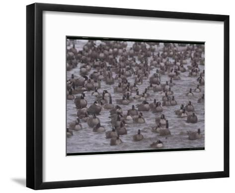 A Flock of Canada Geese Resting Together in Water-Norbert Rosing-Framed Art Print