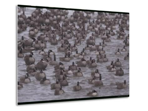 A Flock of Canada Geese Resting Together in Water-Norbert Rosing-Metal Print