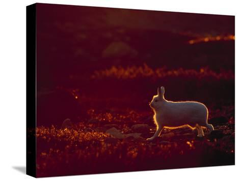 A Snowshoe Hare Outlined in Evening Sunlight-Norbert Rosing-Stretched Canvas Print