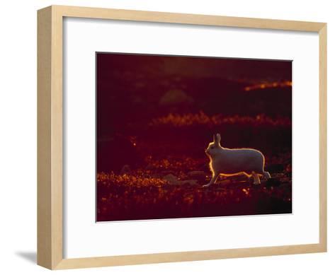 A Snowshoe Hare Outlined in Evening Sunlight-Norbert Rosing-Framed Art Print