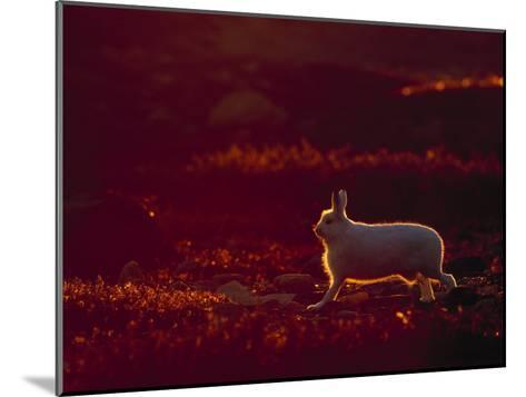 A Snowshoe Hare Outlined in Evening Sunlight-Norbert Rosing-Mounted Photographic Print