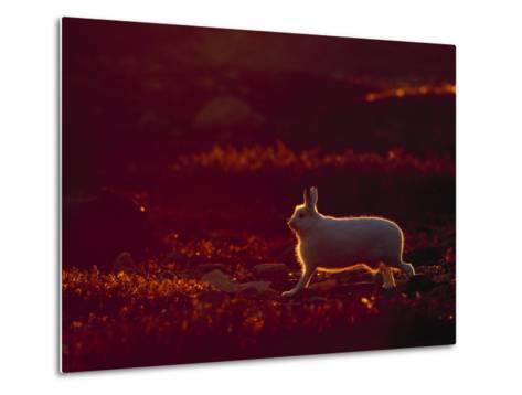 A Snowshoe Hare Outlined in Evening Sunlight-Norbert Rosing-Metal Print