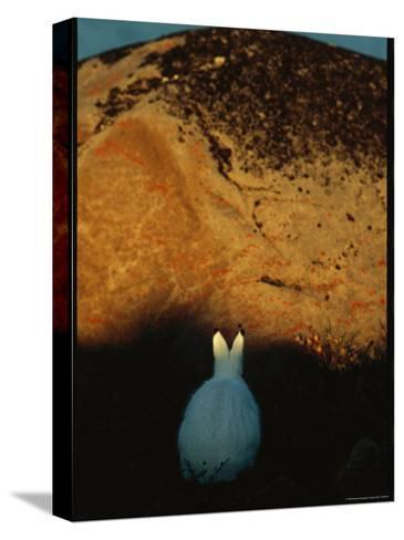 A Snowshoe Hare in Front of a Lichen Speckled Rock at Twilight-Norbert Rosing-Stretched Canvas Print
