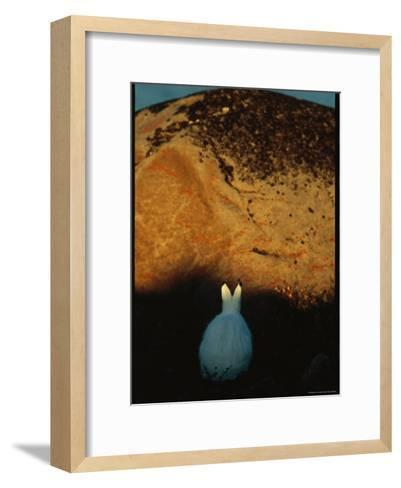 A Snowshoe Hare in Front of a Lichen Speckled Rock at Twilight-Norbert Rosing-Framed Art Print