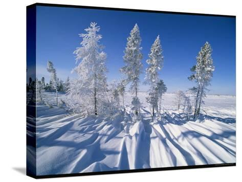 Snow-Blanketed Evergreen Trees in Wapusk National Park-Norbert Rosing-Stretched Canvas Print