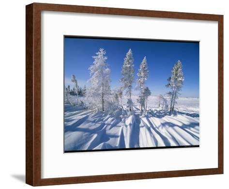 Snow-Blanketed Evergreen Trees in Wapusk National Park-Norbert Rosing-Framed Art Print
