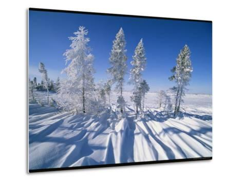 Snow-Blanketed Evergreen Trees in Wapusk National Park-Norbert Rosing-Metal Print