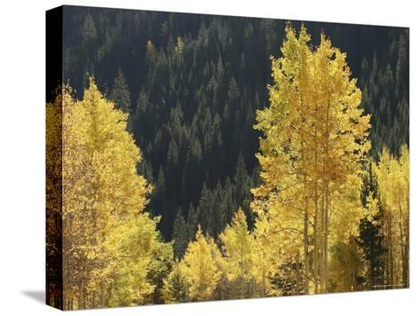 A Stand of Autumn Colored Aspen Trees Intermingled with Evergreens-Charles Kogod-Stretched Canvas Print