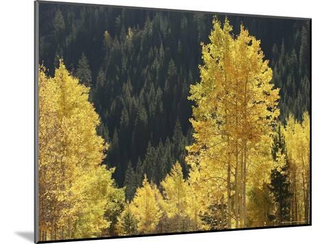A Stand of Autumn Colored Aspen Trees Intermingled with Evergreens-Charles Kogod-Mounted Photographic Print