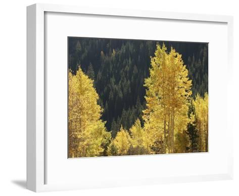 A Stand of Autumn Colored Aspen Trees Intermingled with Evergreens-Charles Kogod-Framed Art Print