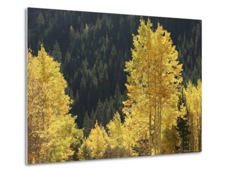 A Stand of Autumn Colored Aspen Trees Intermingled with Evergreens-Charles Kogod-Metal Print