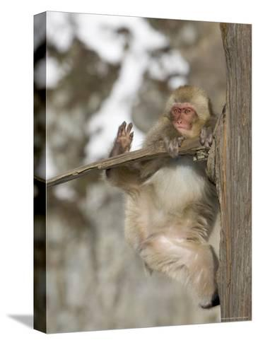 Snow Monkey (Macaca Fuscata) Hangs Precariously from a Tree Branch-Roy Toft-Stretched Canvas Print