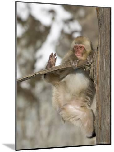 Snow Monkey (Macaca Fuscata) Hangs Precariously from a Tree Branch-Roy Toft-Mounted Photographic Print