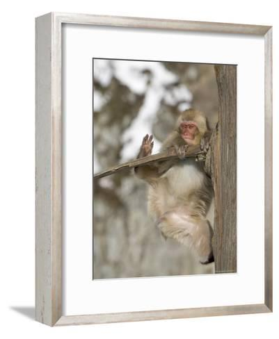 Snow Monkey (Macaca Fuscata) Hangs Precariously from a Tree Branch-Roy Toft-Framed Art Print