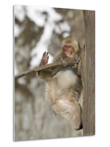 Snow Monkey (Macaca Fuscata) Hangs Precariously from a Tree Branch-Roy Toft-Metal Print