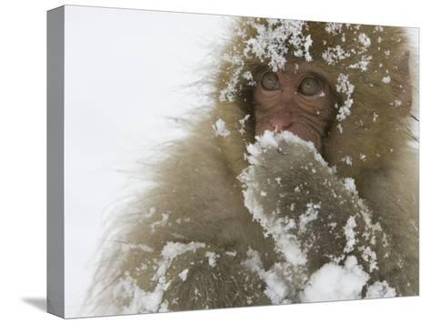 Big-Eyed, Snow-Covered Baby Snow Monkey (Macaca Fuscata)-Roy Toft-Stretched Canvas Print
