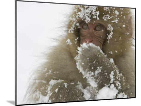Big-Eyed, Snow-Covered Baby Snow Monkey (Macaca Fuscata)-Roy Toft-Mounted Photographic Print