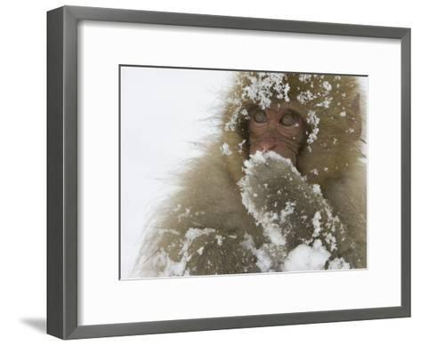 Big-Eyed, Snow-Covered Baby Snow Monkey (Macaca Fuscata)-Roy Toft-Framed Art Print
