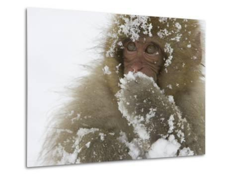 Big-Eyed, Snow-Covered Baby Snow Monkey (Macaca Fuscata)-Roy Toft-Metal Print