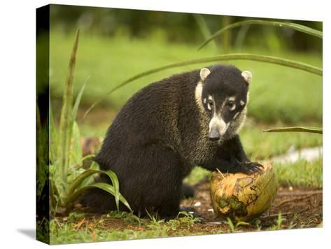 White-Nosed Coati (Nasua Narica) Opening Coconut with Front Paws-Roy Toft-Stretched Canvas Print