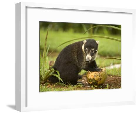 White-Nosed Coati (Nasua Narica) Opening Coconut with Front Paws-Roy Toft-Framed Art Print