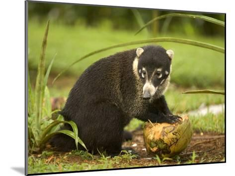 White-Nosed Coati (Nasua Narica) Opening Coconut with Front Paws-Roy Toft-Mounted Photographic Print