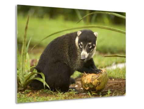 White-Nosed Coati (Nasua Narica) Opening Coconut with Front Paws-Roy Toft-Metal Print