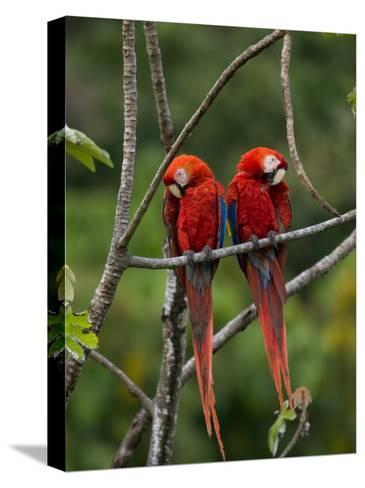 Pair of Scarlet Macaws (Ara Macao) Perched Side by Side on Branch-Roy Toft-Stretched Canvas Print